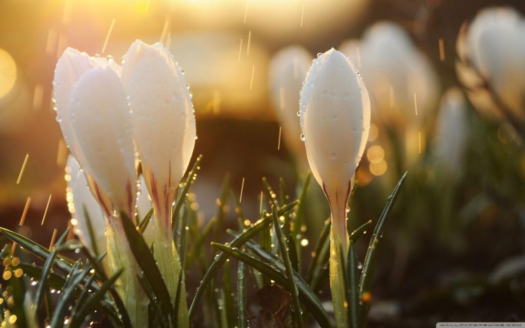 white_spring_flowers_in_rain-wallpaper-1280x800